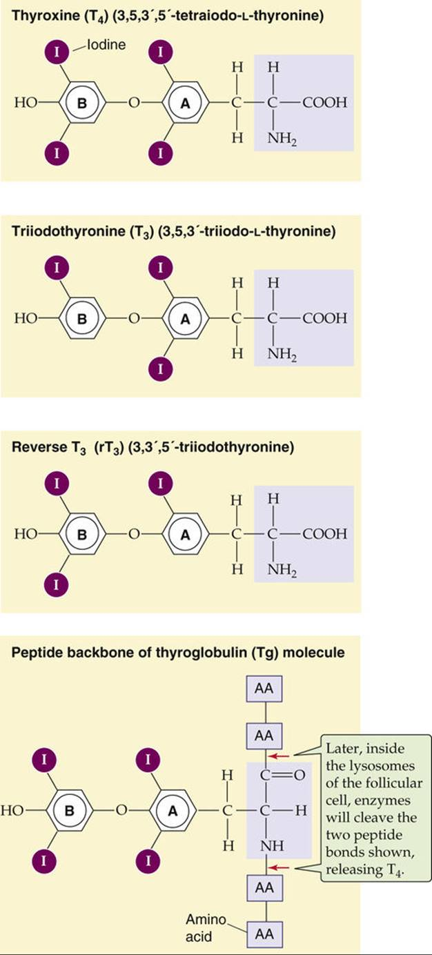 Synthesis Of Thyroid Hormones The Thyroid Gland The Endocrine