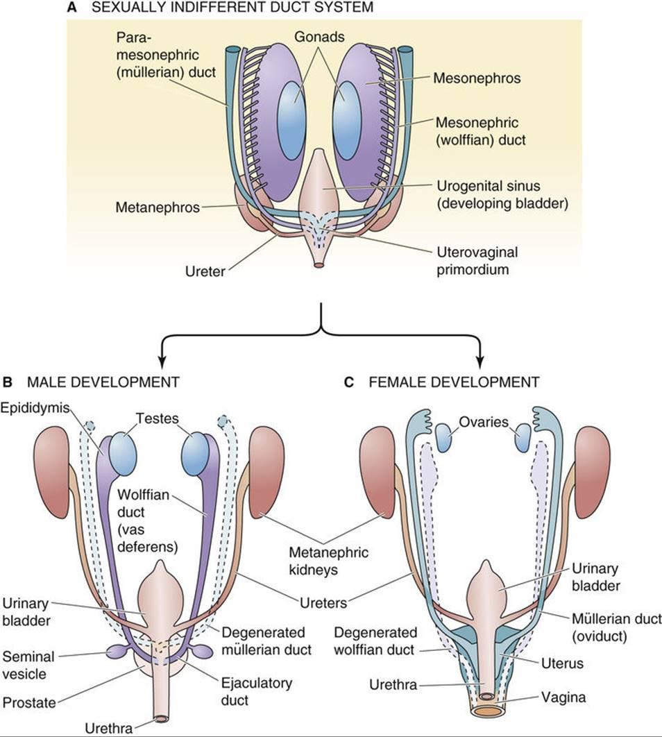 Development Of Sex Organs 51