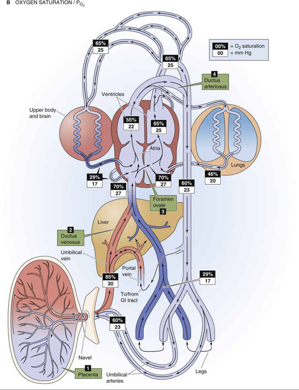 Development Maturation Cardiopulmonary System Fetal Figure 57 3 Circulation Schematic