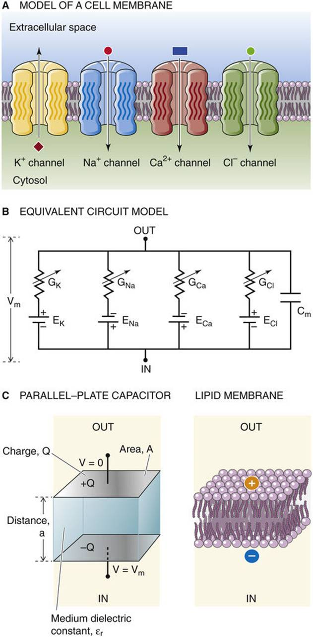 Electrical Model Of A Cell Membrane Electrophysiology The Circuit Capacitor 2 Figure 6 9 Properties Membranes Four Different Ion Channels Are Arranged In Parallel