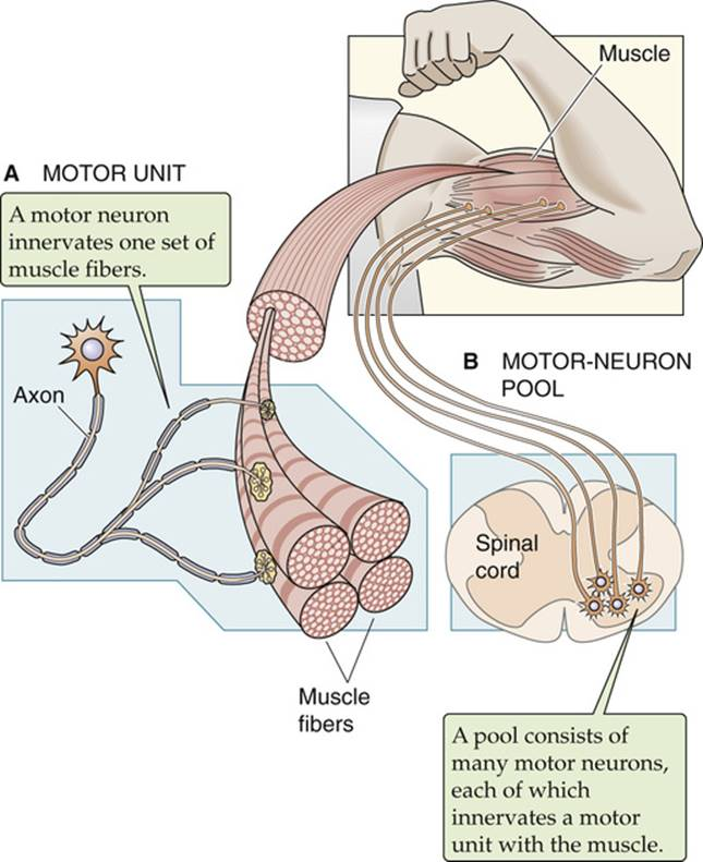 figure 9-11 the motor unit and the motor-neuron pool