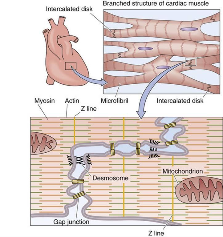 Cardiac Muscle Cellular Physiology Of Skeletal Cardiac And