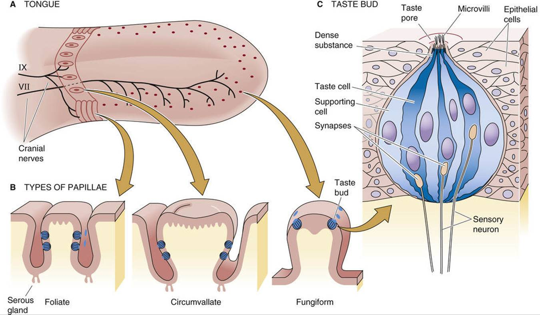 Chemoreception Sensory Transduction The Nervous System Medical
