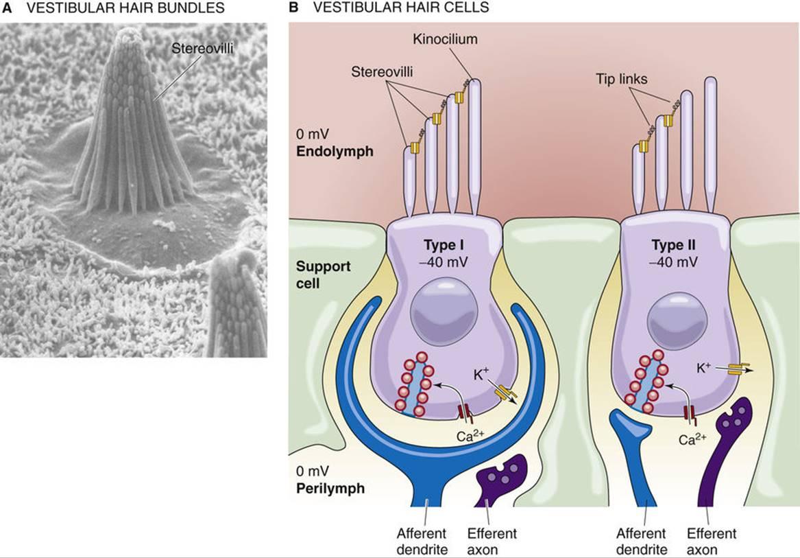 Vestibular And Auditory Transduction  Hair Cells