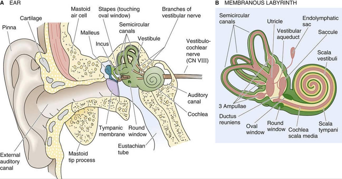 Vestibular and Auditory Transduction: Hair Cells - Sensory ...