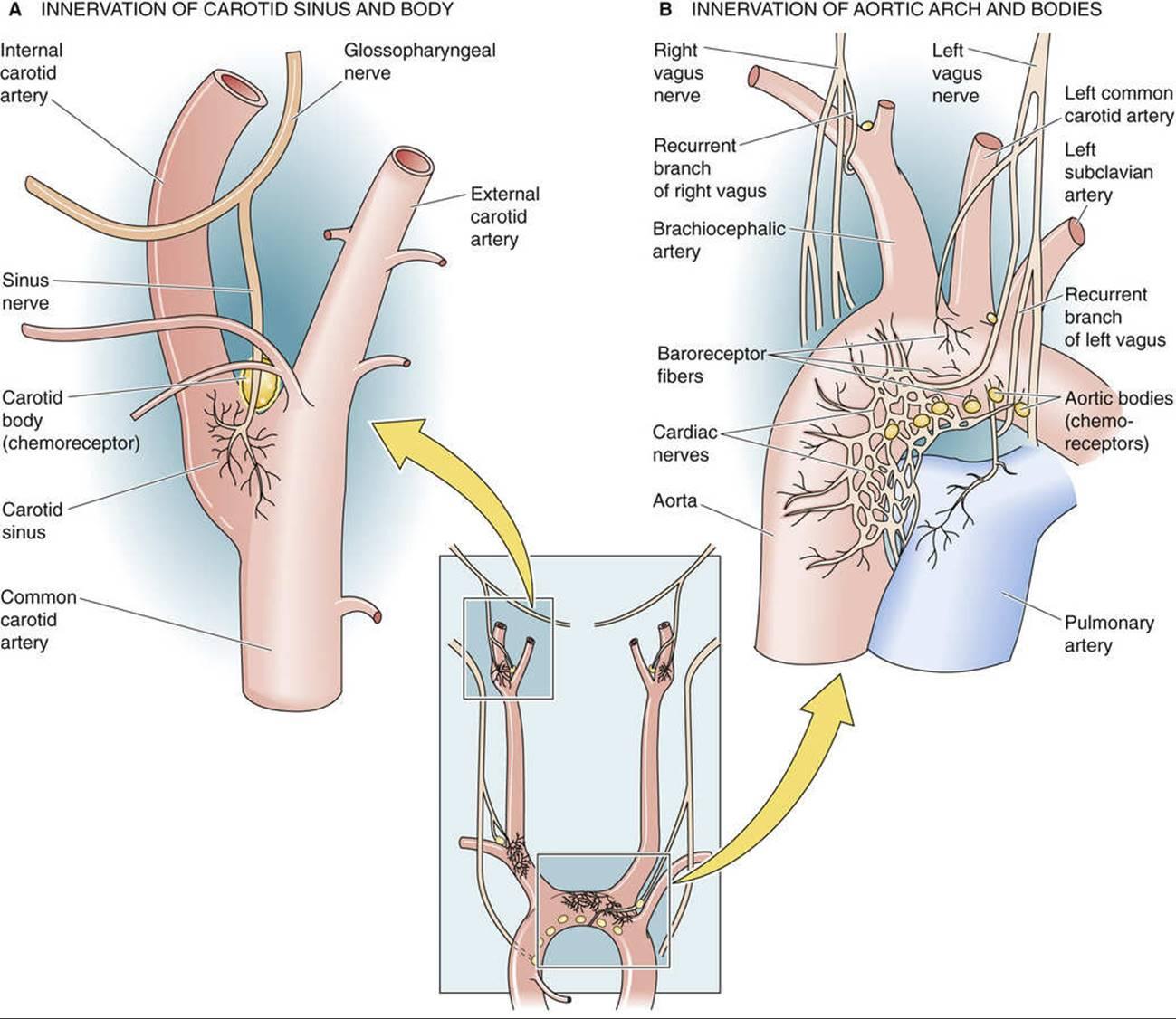 Short-Term Regulation of Arterial Pressure - Regulation of Arterial  Pressure and Cardiac Output - The Cardiovascular System - Medical  Physiology, 3rd Edition