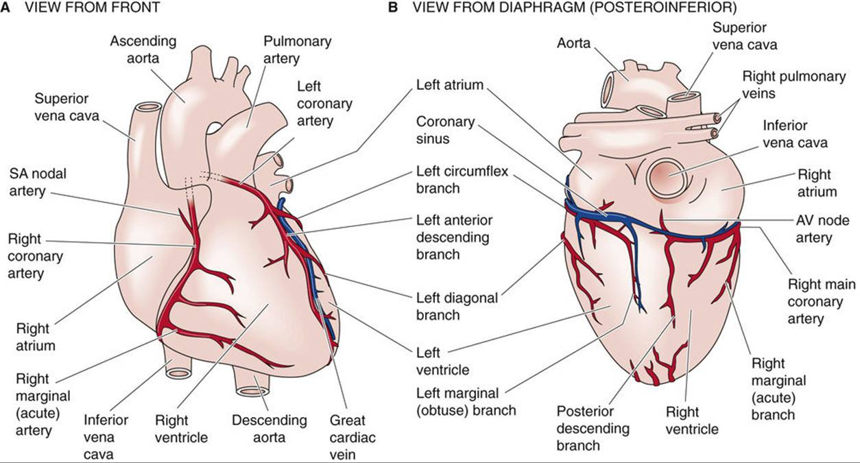 The Heart - Special Circulations - The Cardiovascular ...