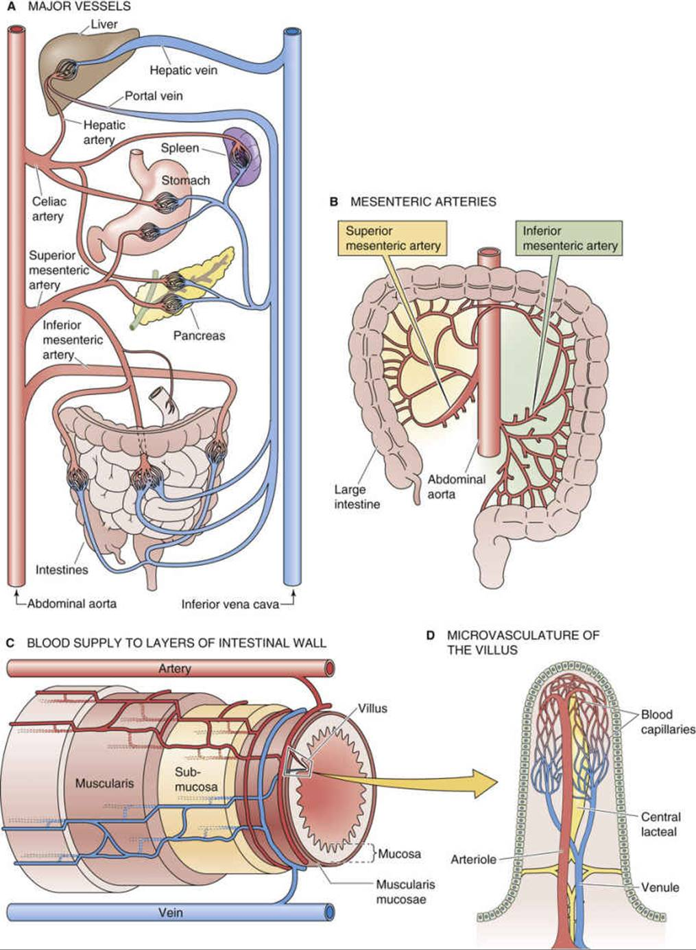 The Splanchnic Organs - Special Circulations - The Cardiovascular ...