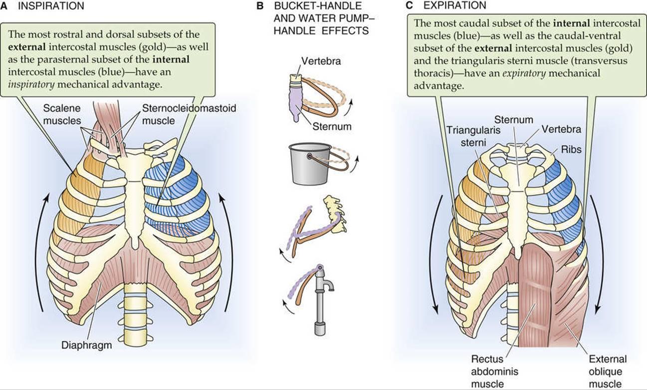 Ziemlich Interne Intercostalmuskeln Zeitgenössisch - Menschliche ...