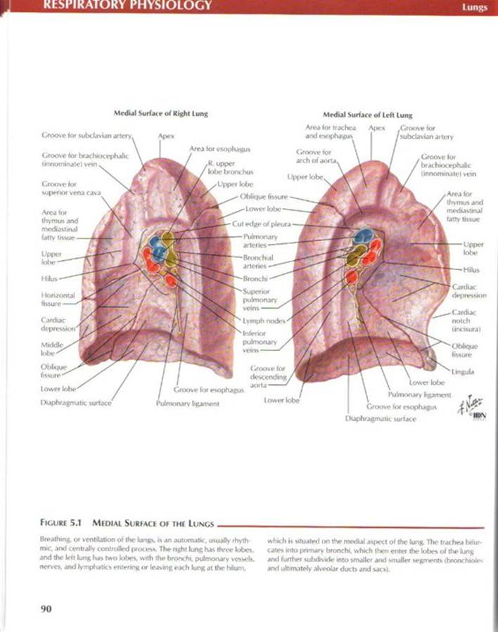 Respiratory physiology - Netter's Atlas of Human Physiology