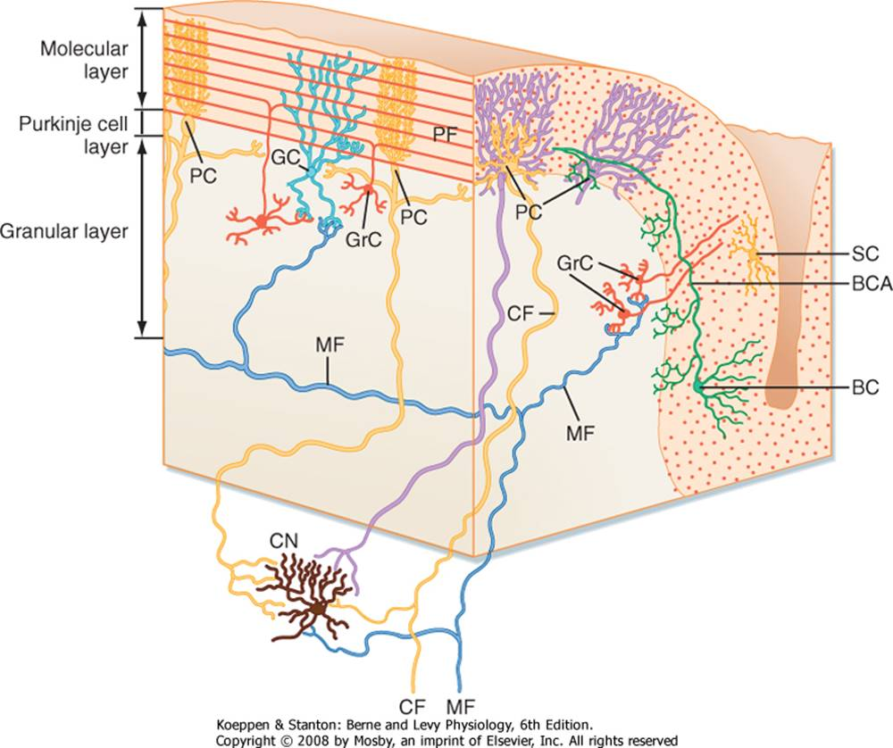 Organization of Motor Function - Berne and Levy Physiology