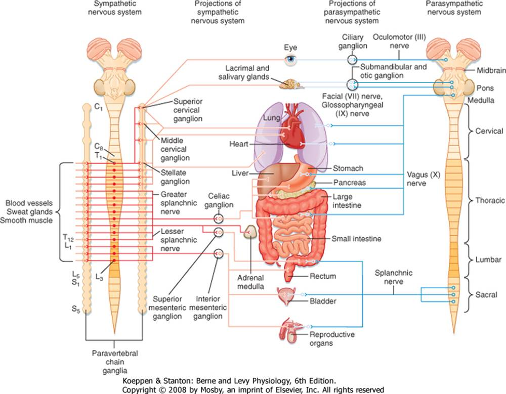 The Autonomic Nervous System and Its Central Control ...
