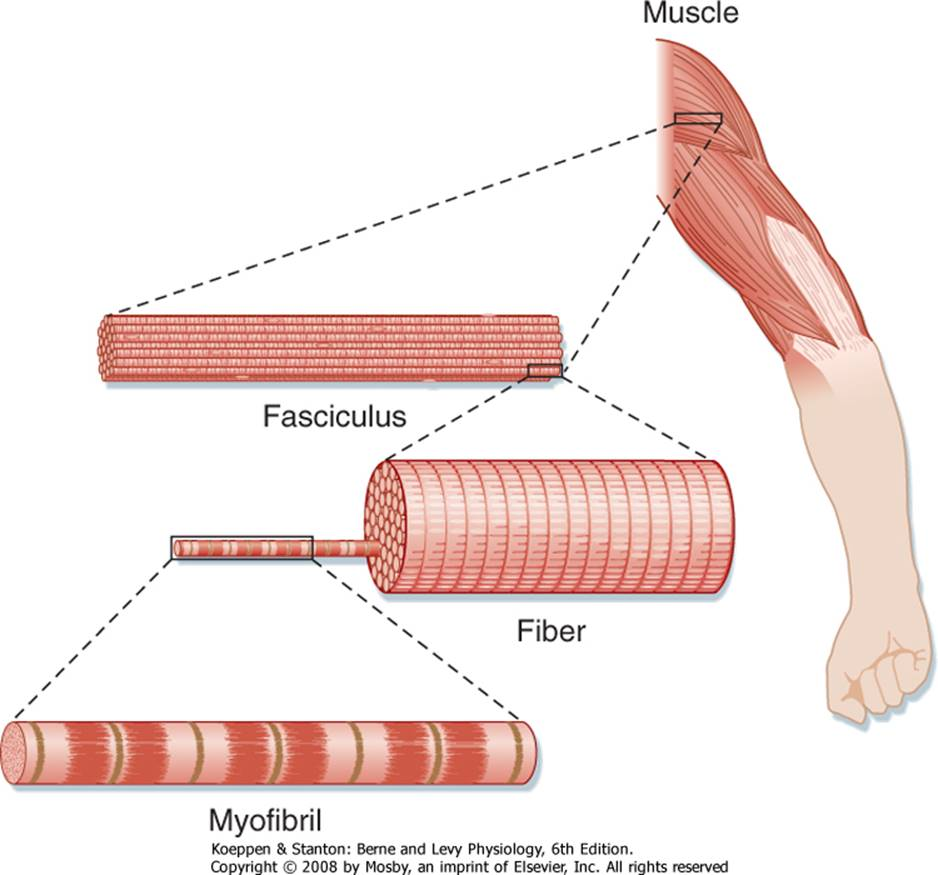 physiology lab skeletal muscle physiology Lecture review topic - muscle physiology muscle tissue review skeletal  muscle tissue long multinucleated fiber, nuclei along membrane striations,.