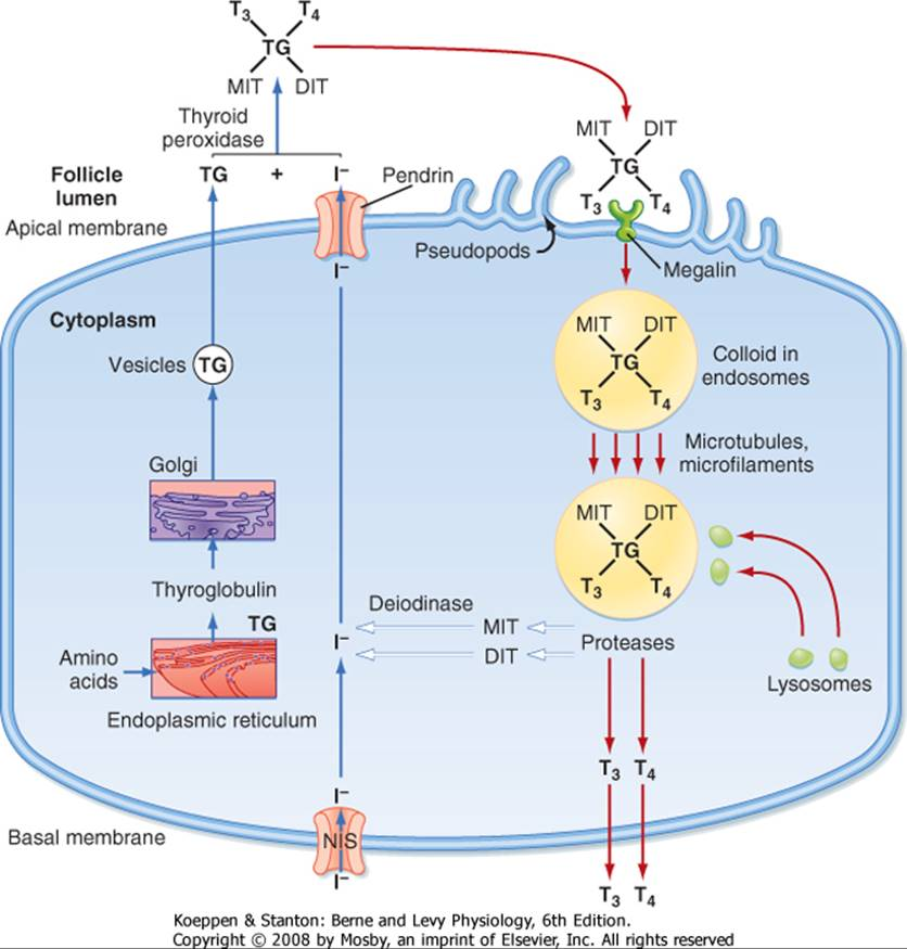 t3 steroid cycle