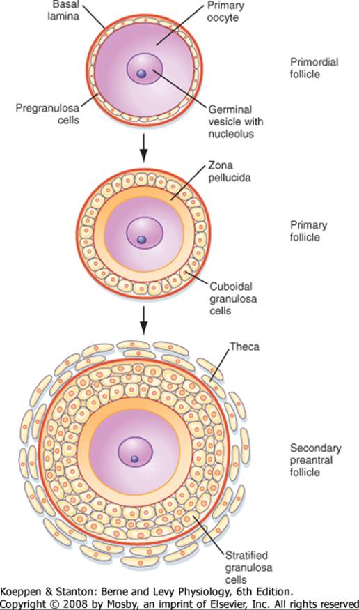 The male and female reproductive systems berne and levy for Mural granulosa cells