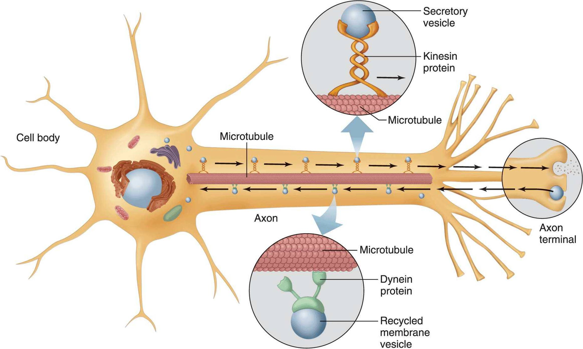 Excitable Tissue: Nerve - Ganong's Review of Medical ...