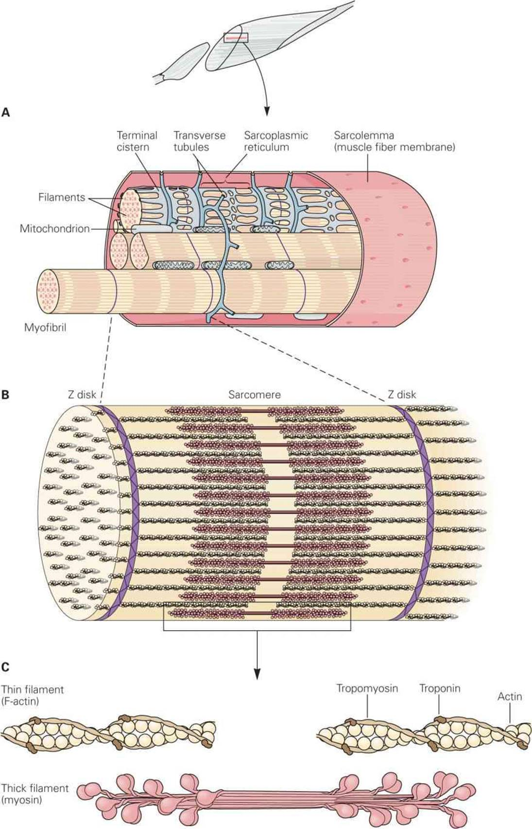 Excitable tissue muscle ganongs review of medical physiology a single muscle fiber surrounded by its sarcolemma has been cut away to show individual myofibrils the cut surface of the myofibrils shows the arrays of pooptronica