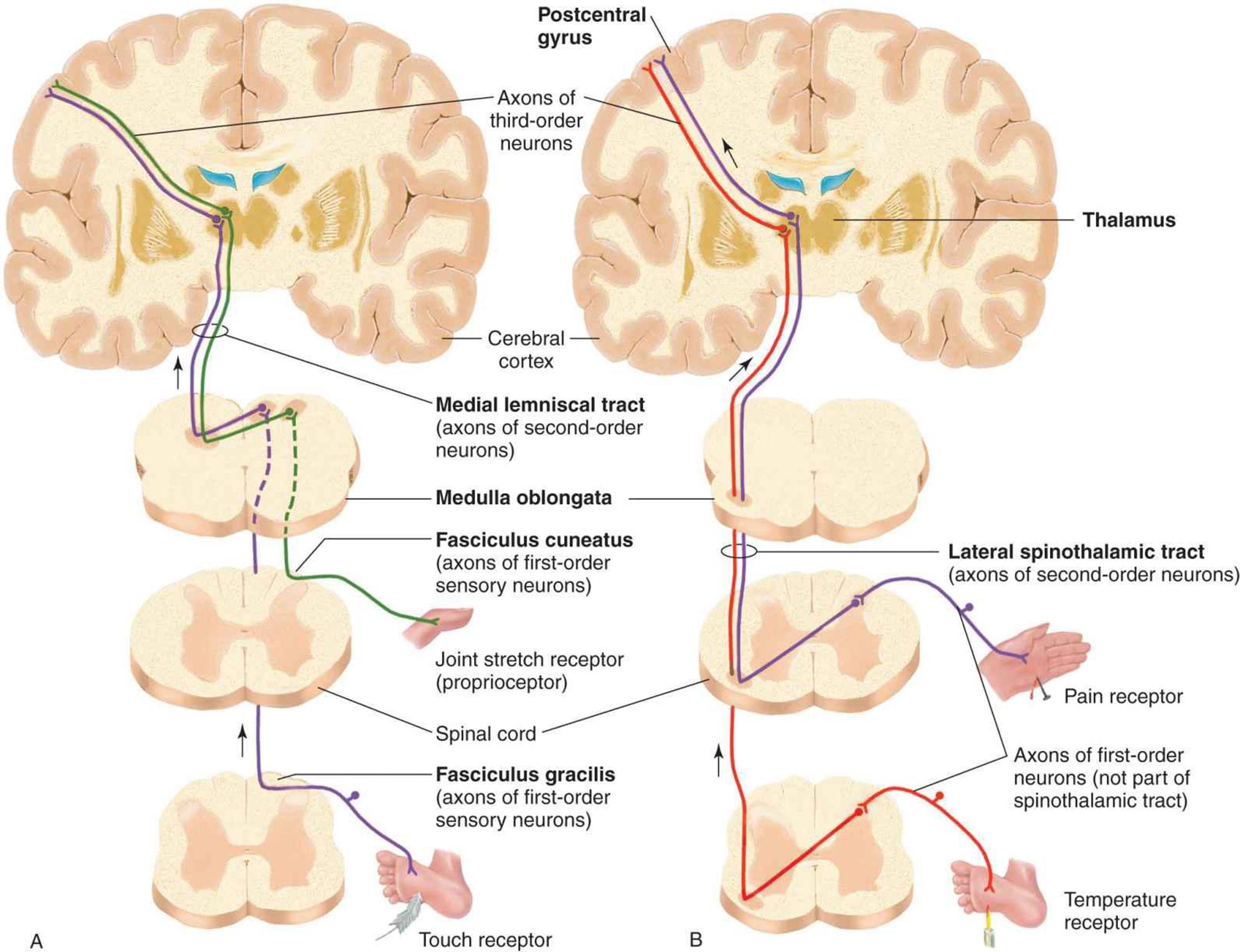 Image result for Transmission of somatic sensations