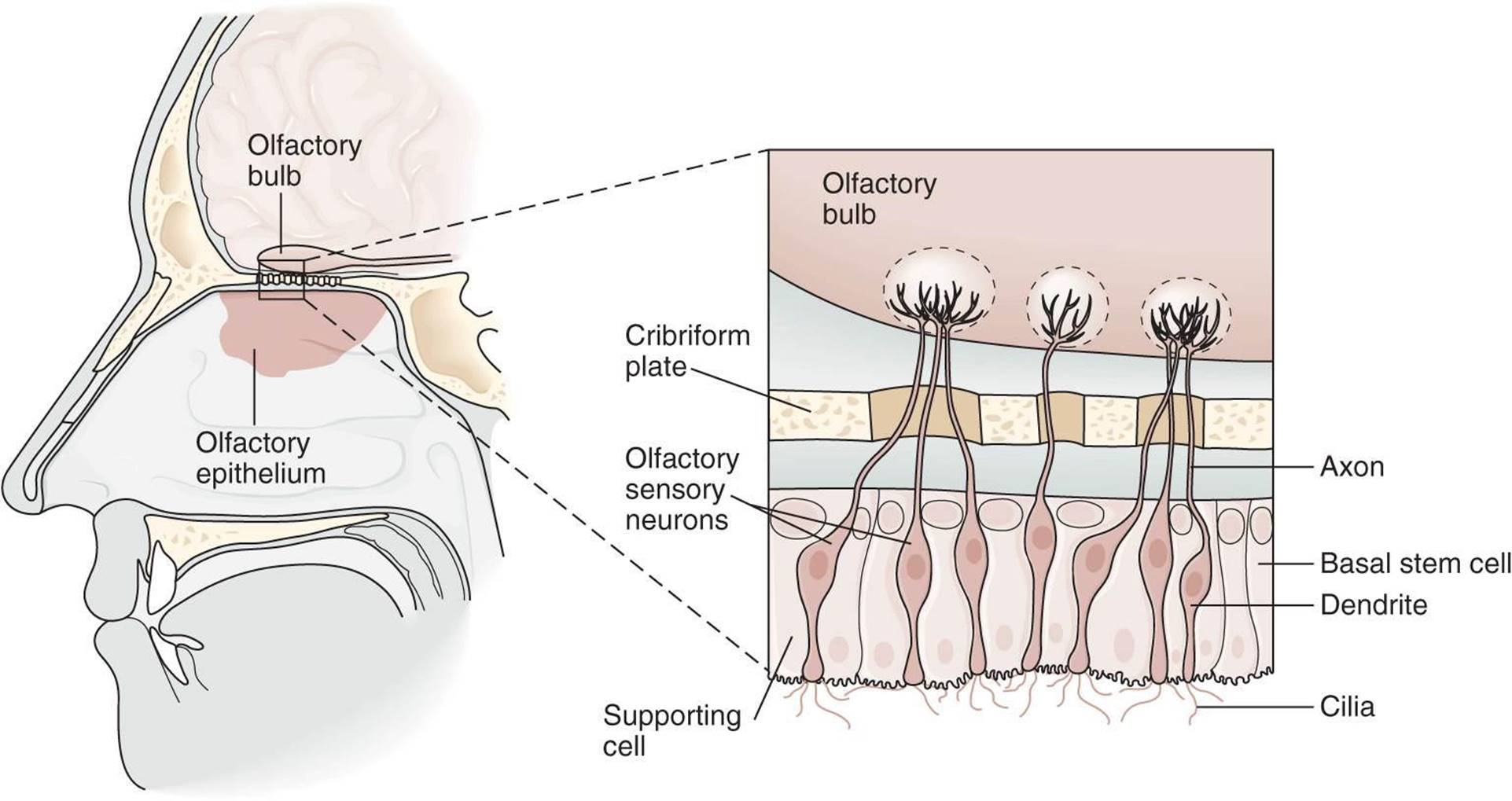 action potential and receptor olfactory receptor 2 essay Action potential to the olfactory bulb in the brain, allow the animalto identifythecompoundandrespondto its tocreate an olfactory receptor-specific probe, degenerate.
