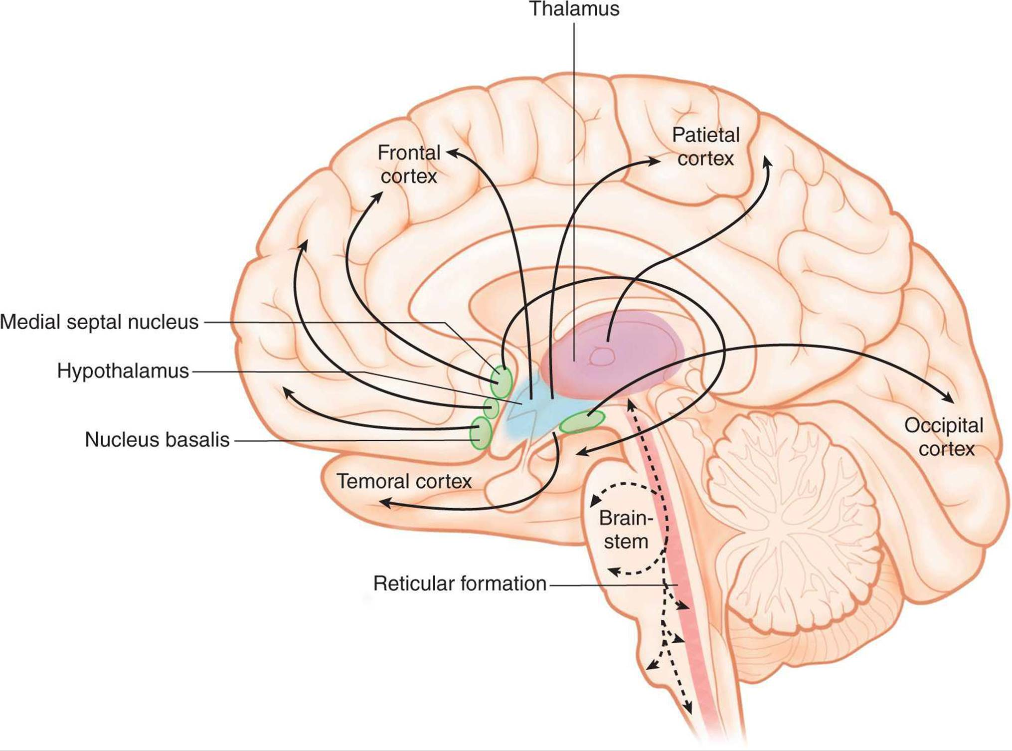 Electrical Activity Of The Brain Sleep Wake States Circadian