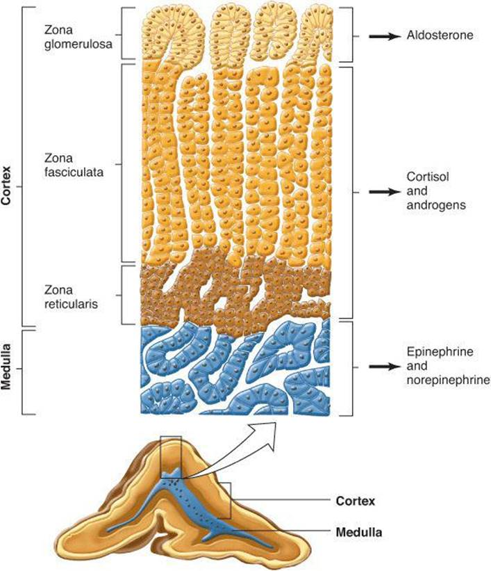 The Adrenal Medulla Adrenal Cortex Ganongs Review Of Medical