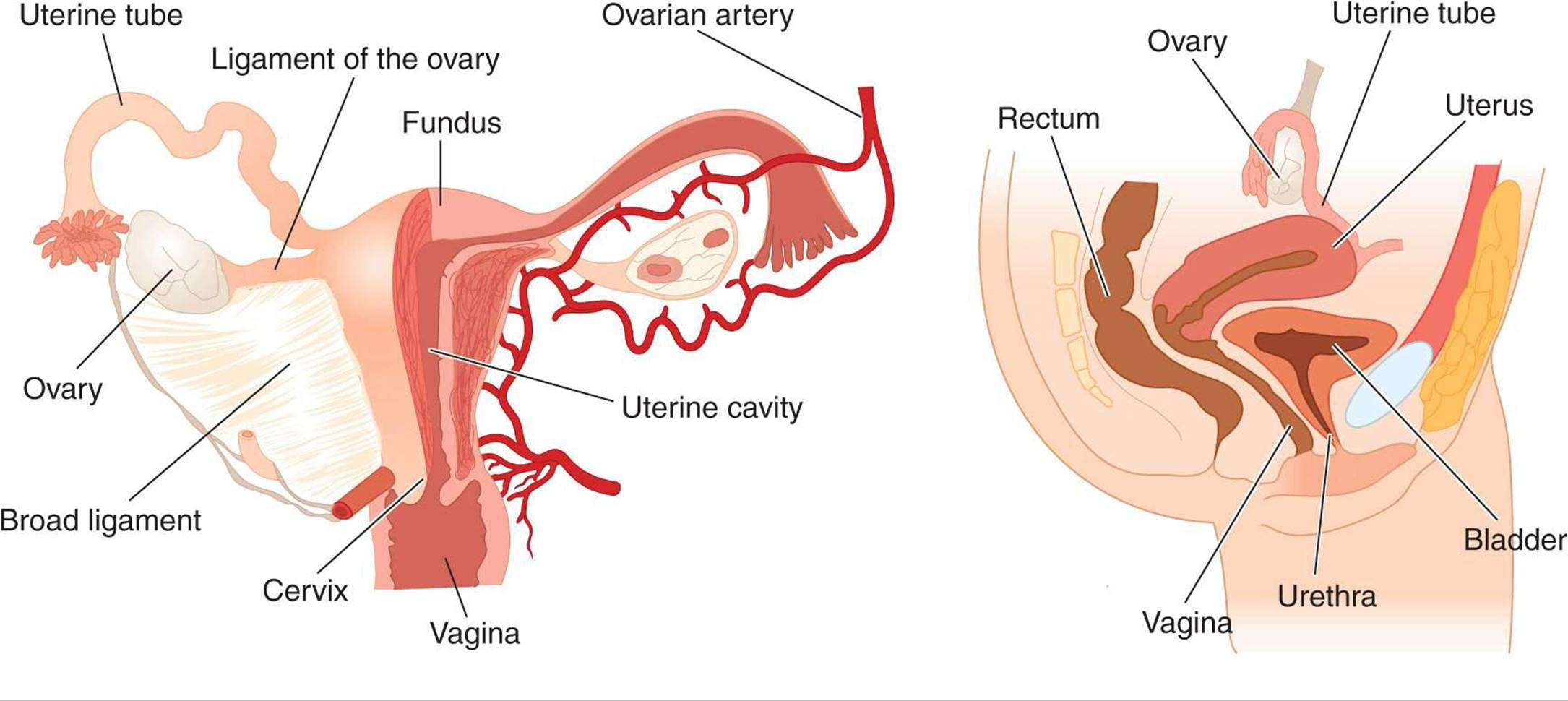 reproductive development & function of the female reproductive, Muscles