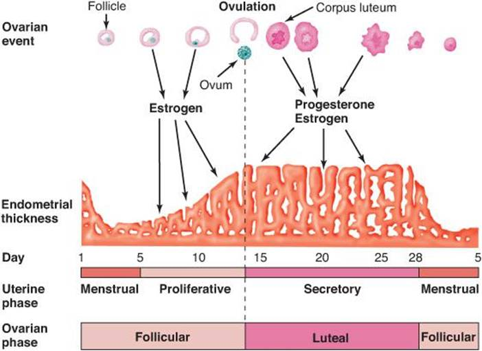 physiology of the menstrual cycle Definition of menstrual cycle periodic vaginal bleeding at intervals of 28 +/- 7 days with menstrual flow lasting 4 +/- 2 days and an average blood loss of 20-60 ml occur with shedding of superficial layer of endometrium (stratum functionale), in absence of fertilization of oocyte menstrual cycle divided into 2 cycles: 1.