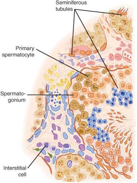 Function Of The Male Reproductive System Ganongs Review Of