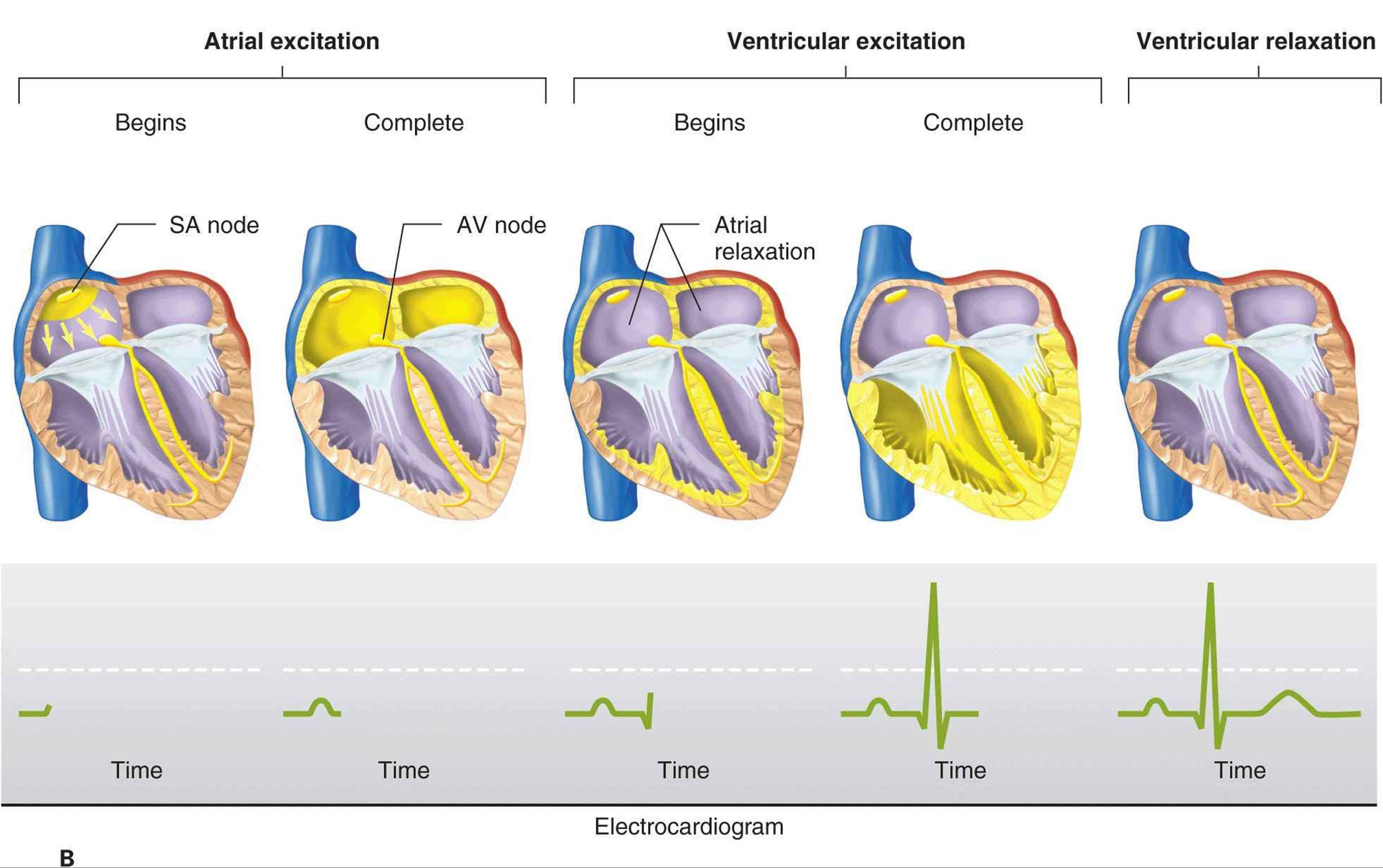 figure 29 4 normal spread of electrical activity in the heart a conducting system of the heart b sequence of cardiac excitation