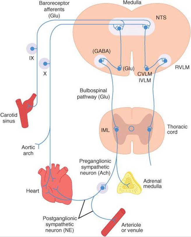 Cardiovascular Regulatory Mechanisms - Ganong\'s Review of Medical ...