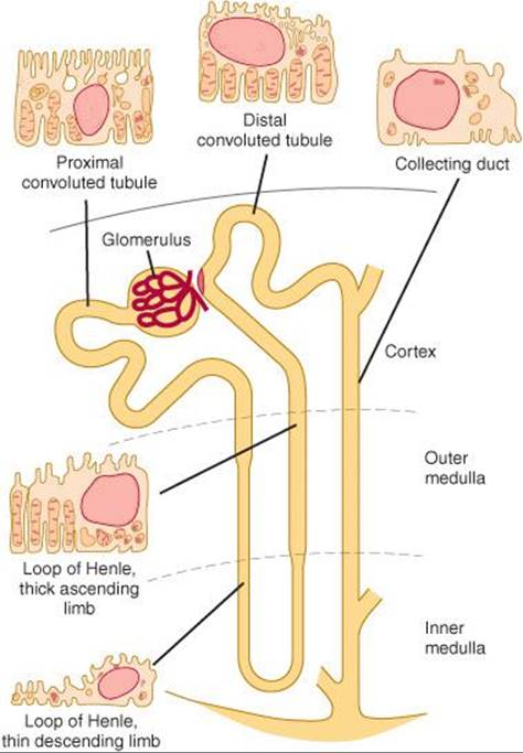 Renal function micturition ganongs review of medical physiology figure 371 diagram of a nephron the main histologic features of the cells that make up each portion of the tubule are also shown ccuart Choice Image