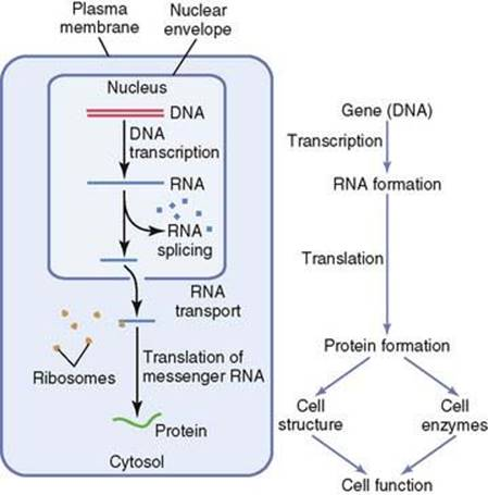 The Plasma Proteins. Structure, Function, and Genetic Control