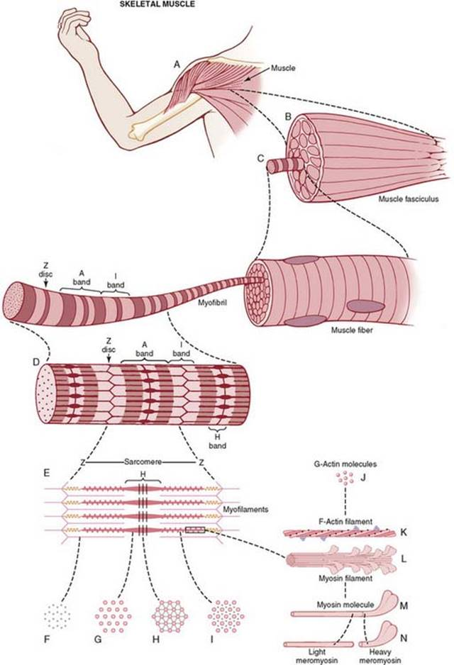 Contraction of Skeletal Muscle - Membrane Physiology, Nerve, and Muscle -  Guyton and Hall Textbook of Medical Physiology, 12th Ed