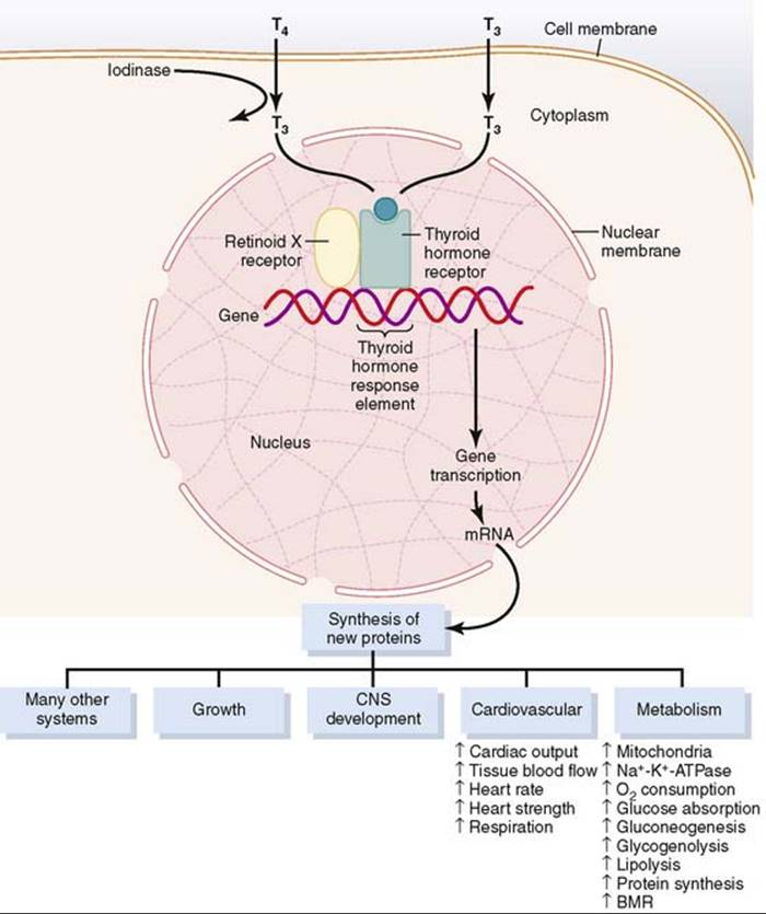 Thyroid Metabolic Hormones Endocrinology And Reproduction