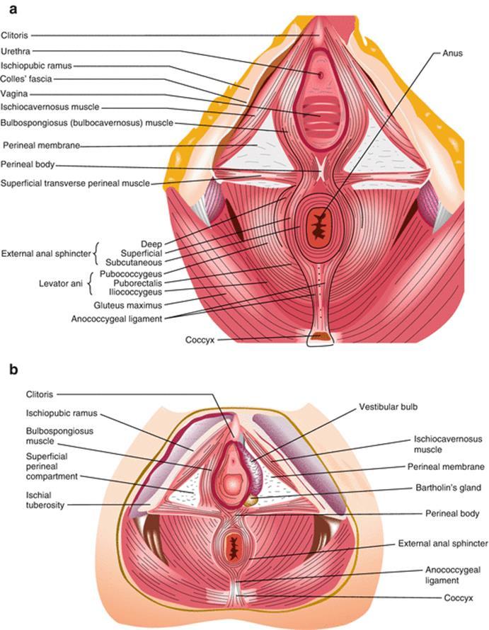 Female Pelvic Anatomy - Childbirth Trauma 1st ed., 2017