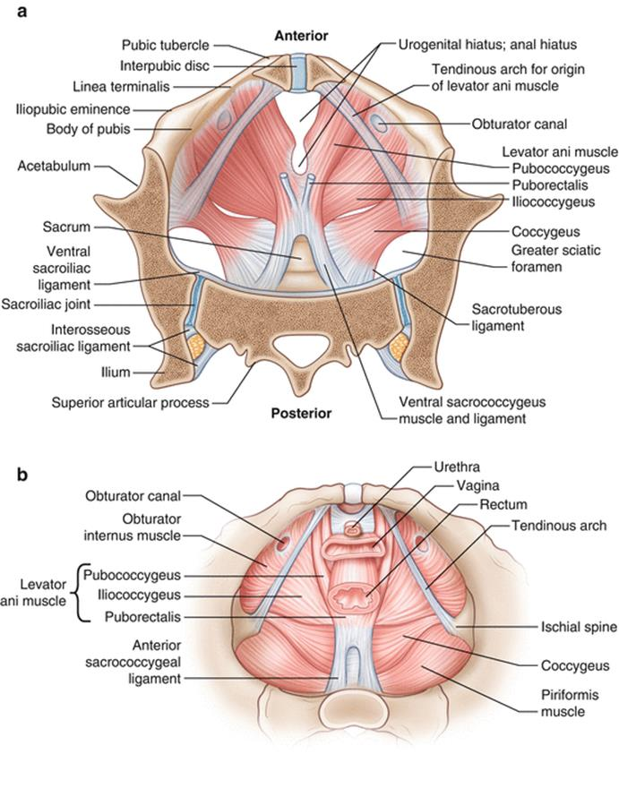 Anatomy of the Female Genitourinary Tract - Female Pelvic Surgery