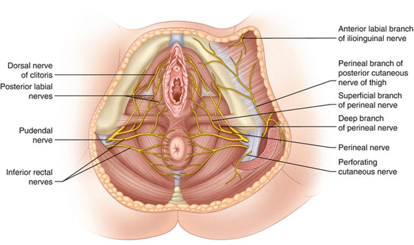 Fancy Perineum Anatomy Female Inspiration Anatomy And Physiology