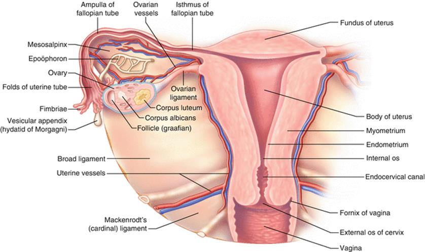 Anatomy Of The Female Genitourinary Tract Female Pelvic Surgery