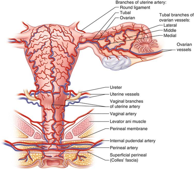 Colorful Anatomy Of Ureters Illustration - Human Anatomy Images ...