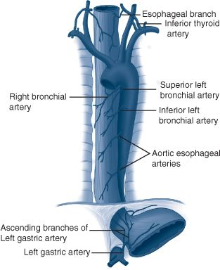 inferior thyroid arteries The inferior thyroid artery typically arises from the thyrocervical trunk immediately distal to the vertebral, but on occasion can come proximal to this location, including aortic arch and subclavian arteries.