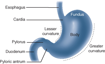 Stomach principles of surgery the normal human stomach contains approximately 1 billion parietal cells and total gastric acid production is proportional to parietal cell mass ccuart Image collections