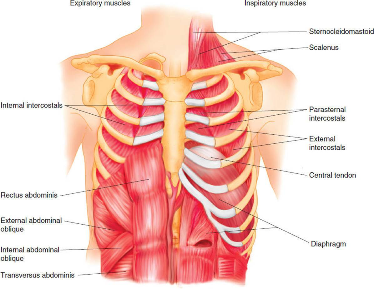 Anatomy Of The Cardiopulmonary System Cardiovascular And Pulmonary