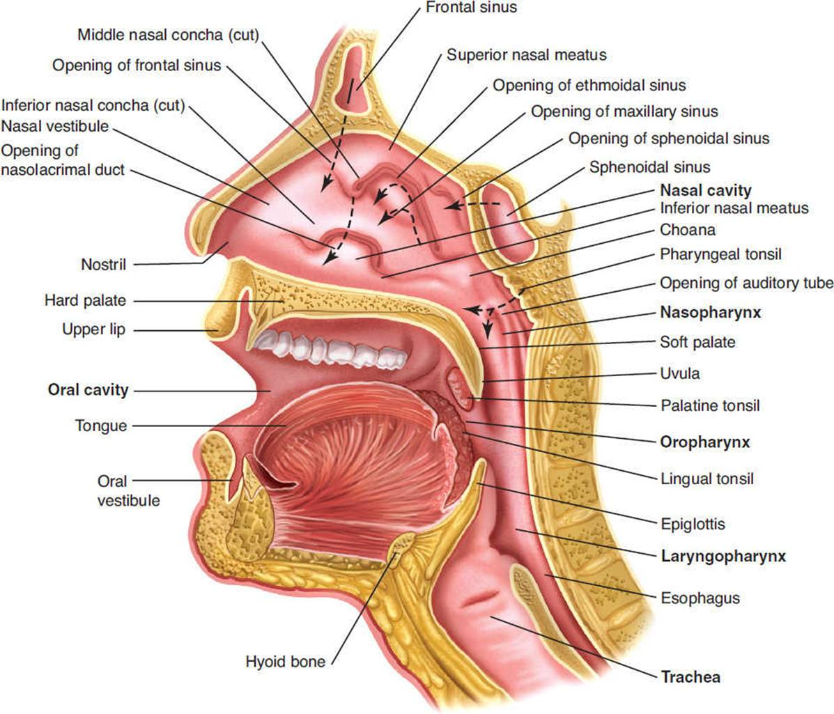 Anatomy of the Cardiopulmonary System - Cardiovascular and Pulmonary ...