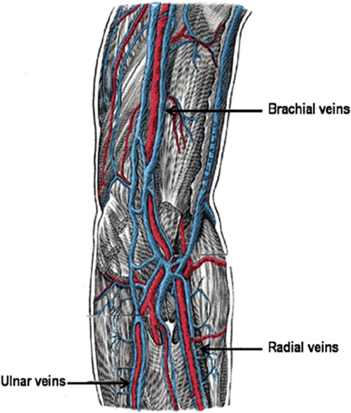 sonography of the peripheral veins - lange review ultrasonography, Cephalic Vein