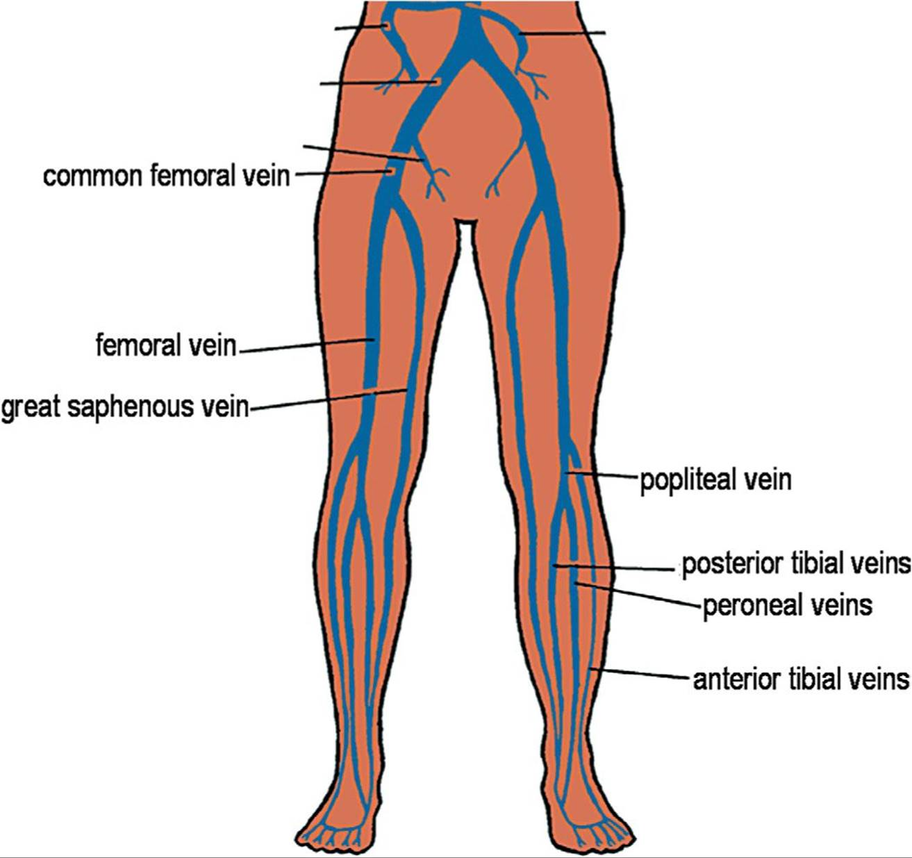 Sonography of the Peripheral Veins - Lange Review Ultrasonography ...