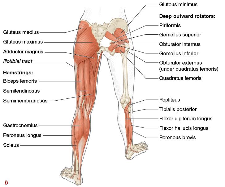 Muscles Movement Analysis And Mat Work Pilates Anatomy