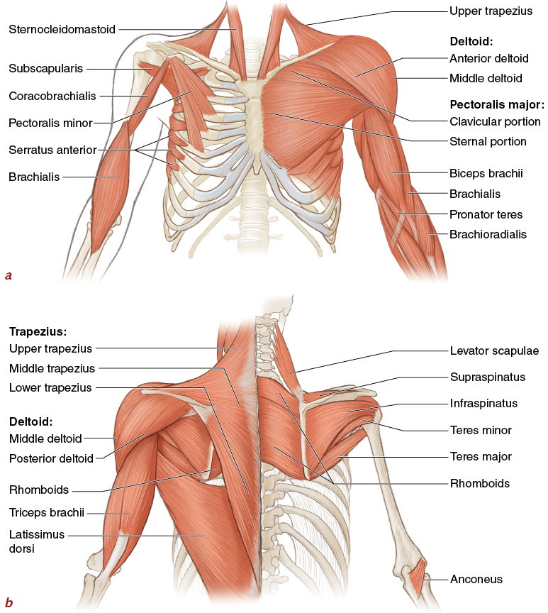 Muscles Movement Analysis And Mat Work Pilates Anatomy